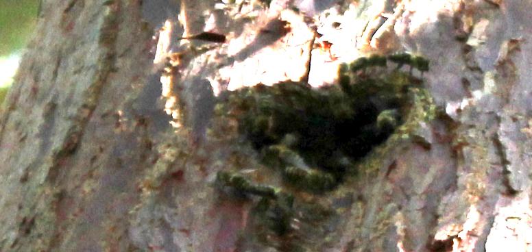 Ein Bienenschwarm nistet in einer Baumhöhle in Freiburg Herdern (Foto: M. Managò)